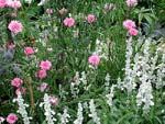 Salvia farinacea 'Silver' med rosa klint