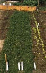 Genast efter gallring täcks jorden eller sanden med 10 cm gräsklipp.