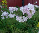 Saponaria officinalis 'Rosea'