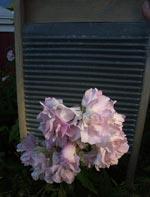 Saponaria officinalis 'Rosea' med gammal tvättbräda