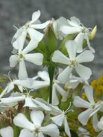 Saponaria officinalis 'Alba'