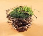 Gör din egen undervegetation på bordet genom att linda granrötter runt en kruka med Sedum och Sagina