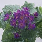 Cineraria, Senecio cruentus hybrid