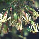 Silene viridiflora, grönblommande glim