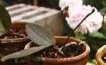 Småplantor av Phalaenopsis.