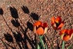 Tulipa whittallii, smyrnatulpan