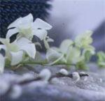 Dendrobium, orkidé