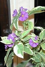 Solanum rantonettii 'Variegatum'
