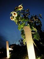 Solros i natten