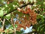 Sorbus 'Apricot Queen'