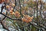 Sorbus aucuparia var. xanthocarpa, gulfruktig rönn