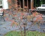 Buskrönn, Sorbus filipes