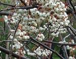 Pärlrönn, Sorbus koehneana