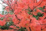 Ullungarönnen, Sorbus 'Dodong'