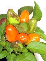 Spanskpeppar Capsicum annuum
