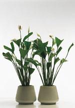 Spathiphyllum (fredskalla)