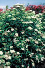 Höstspirea, Spiraea japonica 'Albiflora'