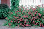 Rosenspirea, Spiraea japonica 'Anthony Waterer'