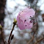 Spröda blommor på Rhododendron mucronulatum.
