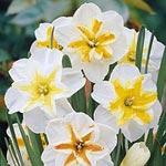 'Star Daffodil Quartet'