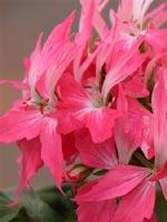 Adés Elf - stora, enkla, korallrosa blommor med vitt öga. Ursprung Austarlien. En härlig sort!
