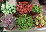 Små krukväxter
