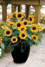 Solros, Helianthus annuus 'Baby Face'