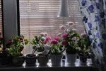 En sval fönsterkarm med pelargoner