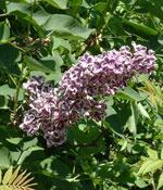 'Sensation', en ympad namnsort av Syringa vulgaris.