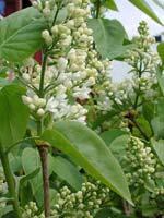 Vit bondsyren, Syringa vulgaris 'Alba', växer på egen rot.