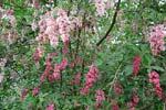 Syringa reflexa, rosa och mörkrosa