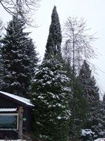 Thuja plicata, Picea abies f. virgata, ormgran m.fl.