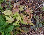 Tiarella 'Oak Leaf' höstfärg