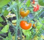 Tomaten sungold