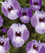 Torenia Blue Moon