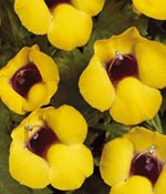 Torenia Golden Moon