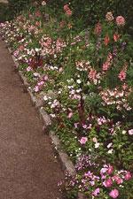 Höga lejongap, paradisblomster, romersk riddarsporre, rosenskära, sommarmalva, ljusrosa petunior, flitiga lisor, blomstertobak, sommarljus, grusnejlika, sommarflox, murbinka, violverbena m.m.