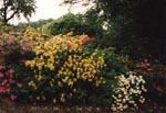 Surjordsrabatt i halvskugga, med rododendron, azaleor och nyplanterade primulor i förgrunden.