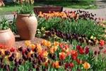 I mitten tronar tre stora urnor med den lustiga flikiga, vridna tulpanen Tulipa acuminata, en ren art alltså.