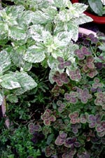 Perennväxter i kruka