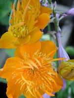 Trollius chinensis, närbild