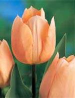 'Apricot Beauty'