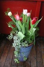 Tulpaner köpta på lök och planterade i en utekruka