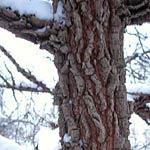 Korkalm, Ulmus caprinifolia var. suberosa
