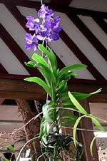 Vanda 'Blue Magic'