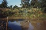 Efter att vattnet stigit till cirka två meters djup och lerfärgutfällningen sjunkit sjösatte jag elva koikarpar av storlek cirka 15-22 cm.