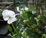 Tåliga vårväxter, vårljung och pensé