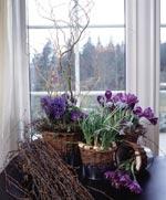 Blå hyacinter, krokus och pärlhyacinter i det vårliga fönstret