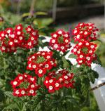 Trädgårdsverbena, Verbena hybrida 'Novalis Scarlet with Eye'