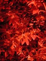 Verkligen lysande rododendron
